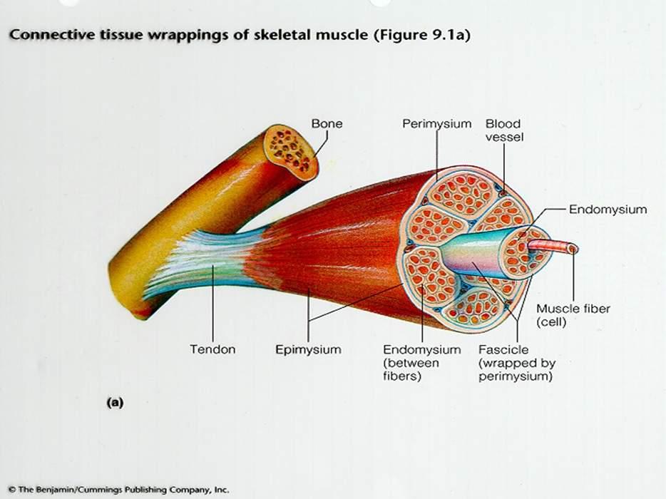 پاورپوینت بررسی سلولهای عضلانی